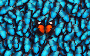 Blue Panoramic Butterfly