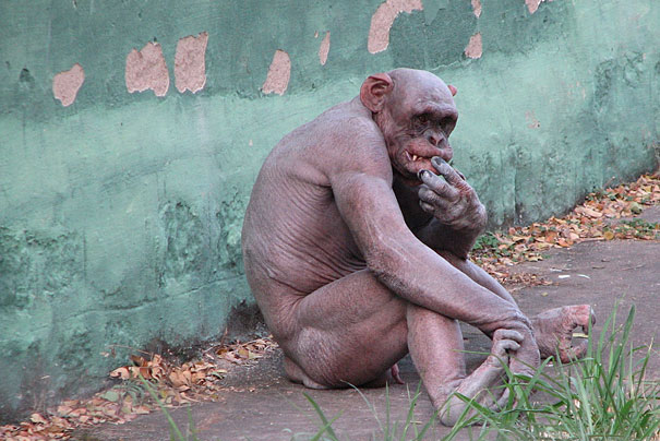 Ashes, an Indian chimp that lost his entire fur at age one.