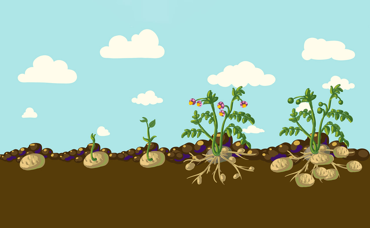 A depiction of how potatoes grow