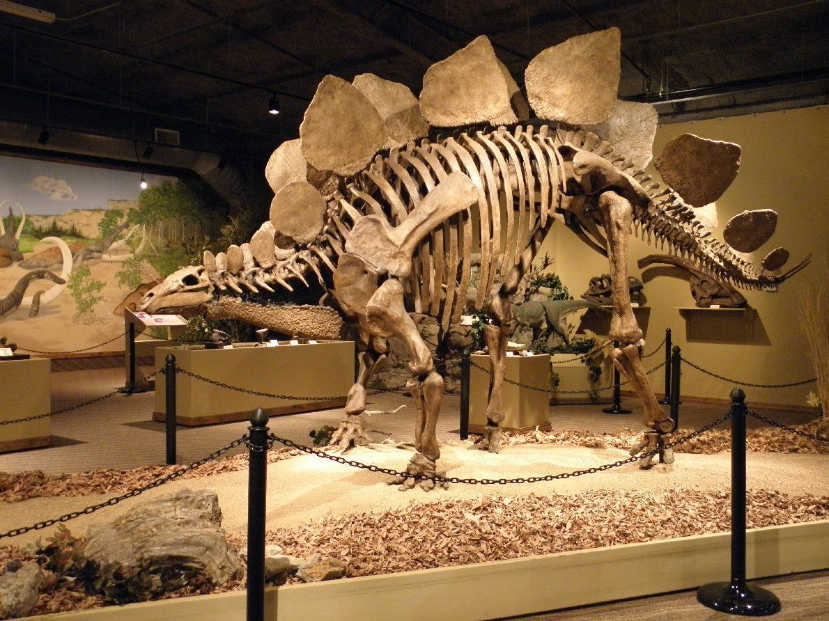 Stegosaurus at the Carnegie Museum in Pittsburgh, PA.