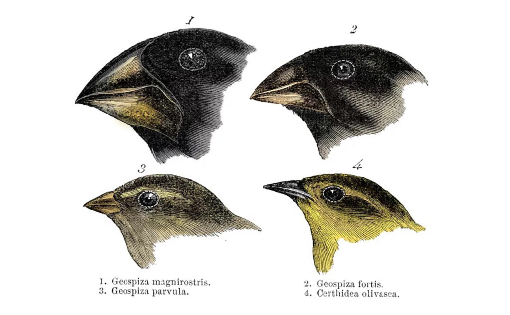 Darwin discovered evolution with the help of beaks of finches.