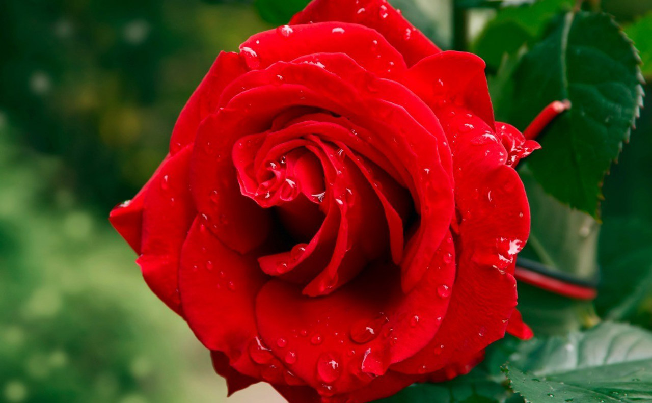 Domesticated Red Rose